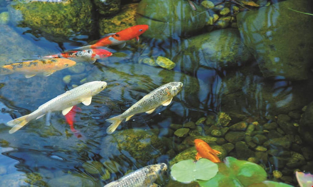 """Product image for Koi & More Pond Shop 10% OFF aquatic plants 4"""" pot only."""