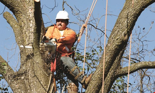 Product image for Ameritree Expert 40% OFF Tree Work, stump grinding not included.