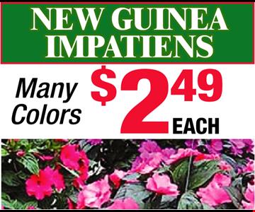 New Guinea Impatiens! Many Colors! $2.49 EACH
