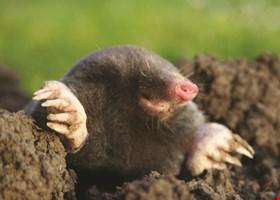 Trap Your Moles.Com