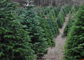Collmann Christmas Tree Farm